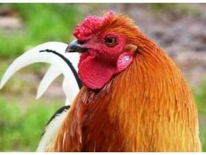 Caponized-Chicken