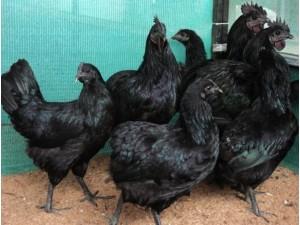 Kadaknath-Hen