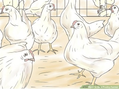 COMMON POULTRY DISEASES DURING WINTER
